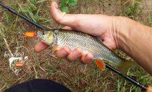 Gezielt auf Döbel angeln mit Fischers Gold